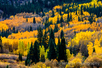 Aspen Trees - Maroon Lake