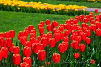 Tulip Garden, Boston Common
