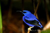 Yellow Leg Honeycreeper - Florida