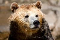 Grizzly Bear, SF Zoo
