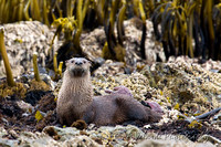 Sea Otter - Shelter Cove, California