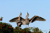 Great Blue Herons - Venice Rookery, Florida