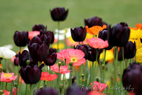 Among Black Tulips