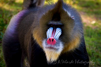 Mandrill - San Francisco Zoo