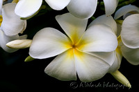 Singapore Plumeria - Hawaii