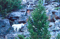 Mountain Goat  - Yellowstone