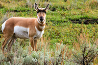 Pronghorn Antelope  - Yellowstone