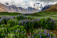 Lupines and Glaciers - Southern Iceland