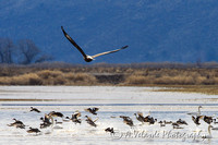 Bald Eagle Hunting - Klamath Falls, Oregon