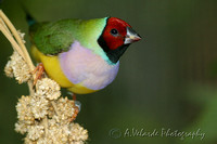 Lady Gouldian Finch - Florida