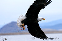 Bald Eagle - Klamath Falls, Oregon